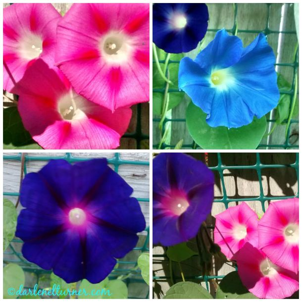 morning glory collage